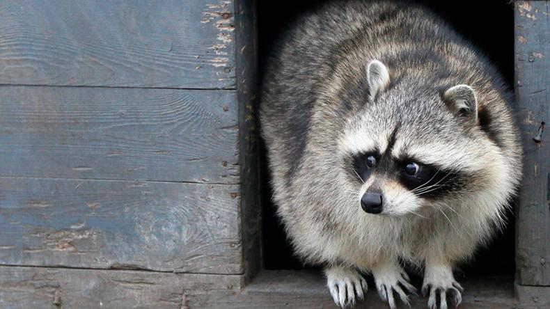 Go Rocky: Raccoon takes the train in Toronto