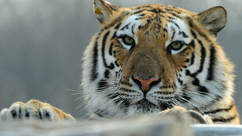 Man jumps into tiger enclosure at China zoo