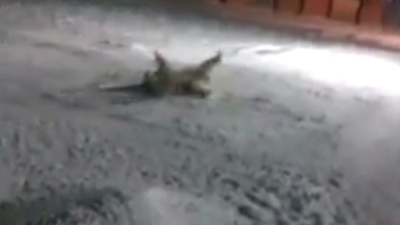 Polar bear fed firecracker in Russian Arctic (DISTURBING VIDEO)