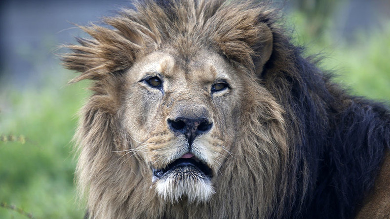 Big news for big cats: US adds African lions to endangered species list