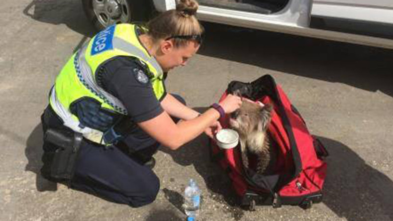 Lucky koala rescued from Aussie bushfires, nicknamed Constable K Bear (VIDEO)