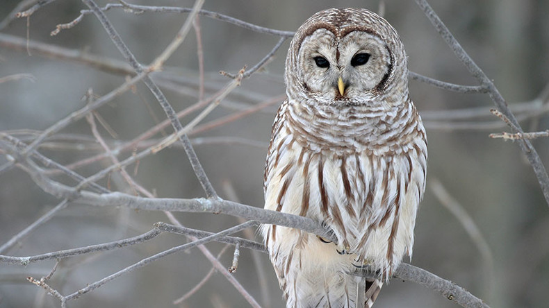 Owlcapone strikes again! Oregon attack owl returns with a new target – gov't workers
