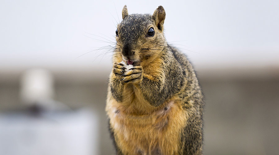 Squirrel gone nuts: US health officials issue warning