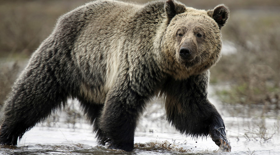 Yellowstone grizzlies could be fair game for hunters under new rules