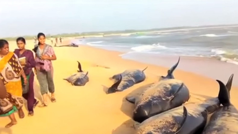 Mystery as locals race to rescue 100+ beached whales found on Indian shoreline
