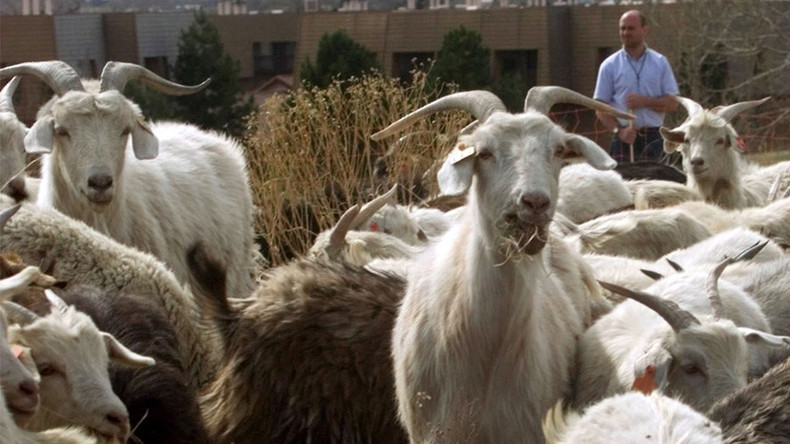 The men who drop in goats: US govt spent $6m bringing 9 animals to Afghanistan
