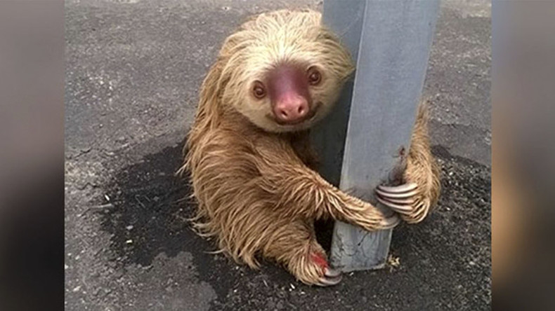 Cuddly sloth brings traffic to standstill in Ecuador (PHOTOS)