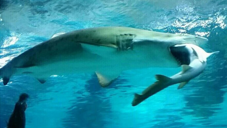 Surf n' Turf war: Female shark eats male in aquarium attack (VIDEO)