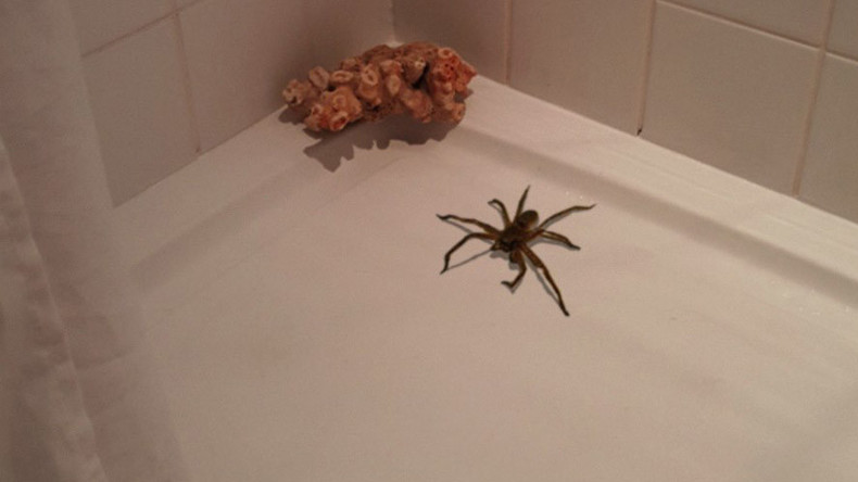 Not-so-itsy-bitsy spider found in shower becomes web sensation
