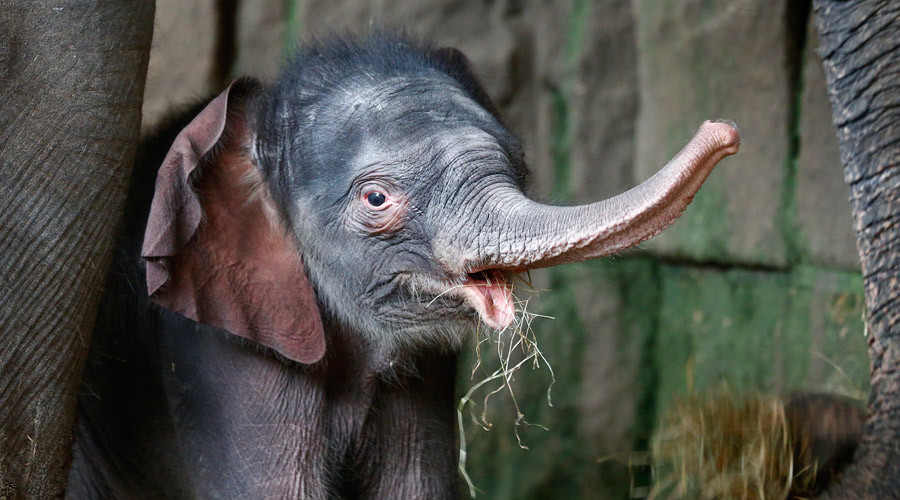 Zoo baby alert! 100kg 'premie' elephant makes debut in Berlin (VIDEO)