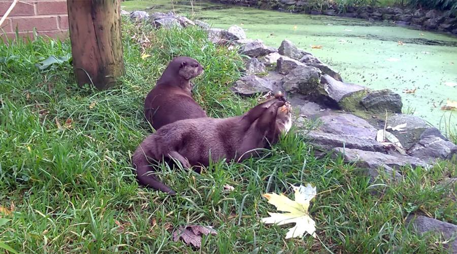 Otters show off impressive juggling skills (VIDEO)