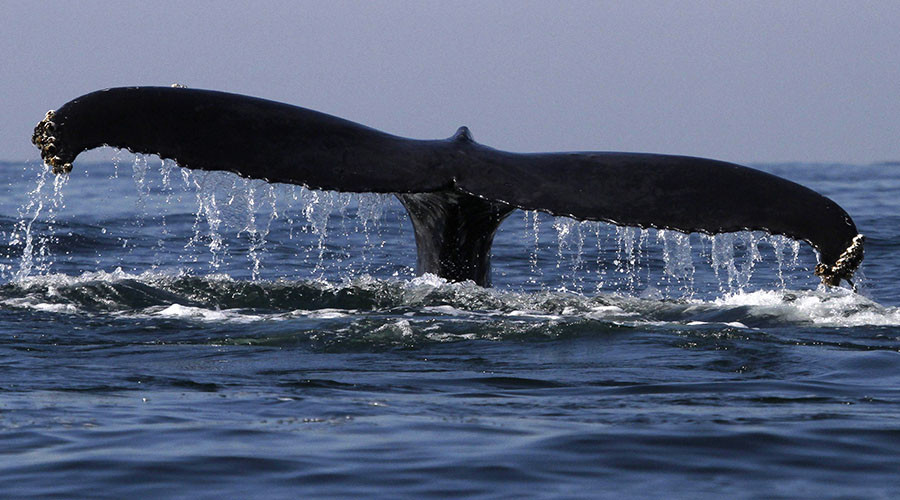 Moby trick: Giant whale on flatbed freaks Belgian internet