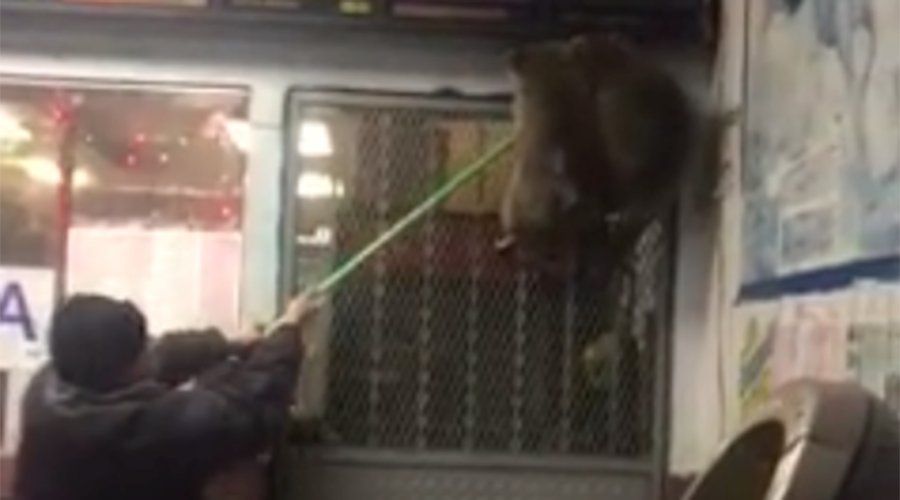 Raccoon express: Giant raccoons take over Chinese restaurant in the Bronx (VIDEO)