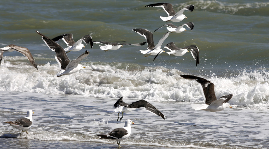 Mass die-off of seabirds attributed to starvation, possibly related to climate change