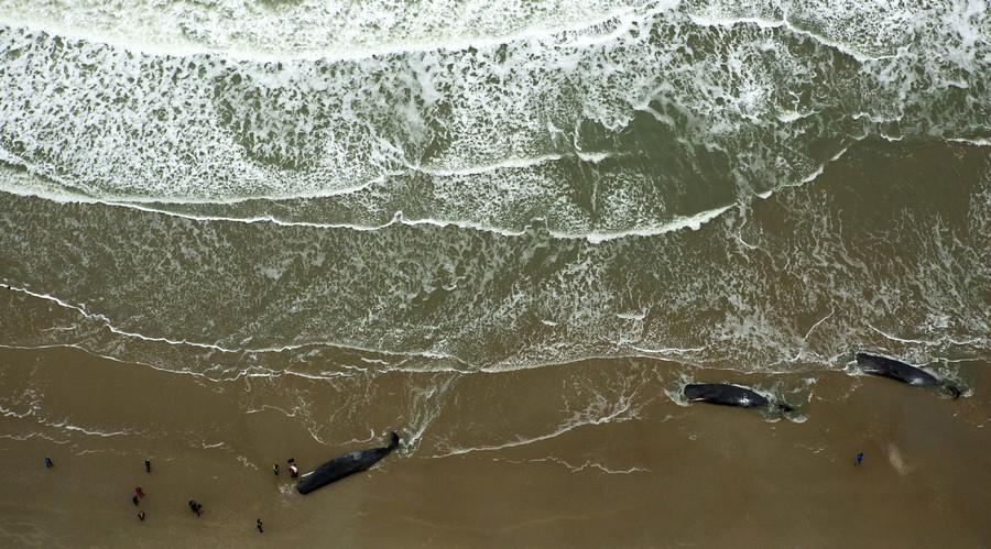 12 beached sperm whales die in week of carnage on northern European coast