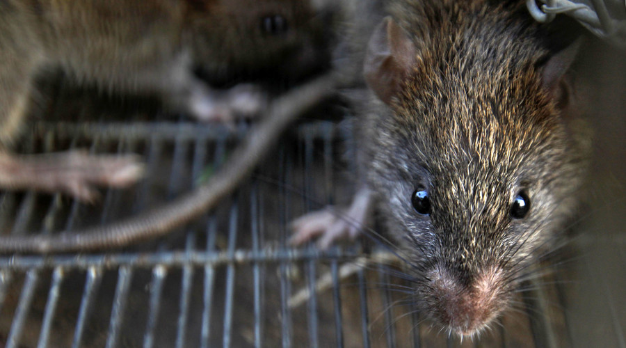 Rat-ta-pooie: Swede discovers live rodent in her toilet
