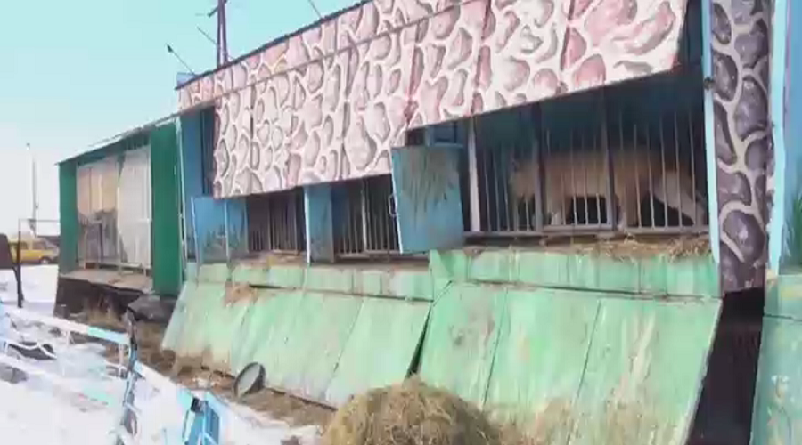 Lions, bears kept in horrifying conditions at abandoned Armenian zoo (VIDEO)