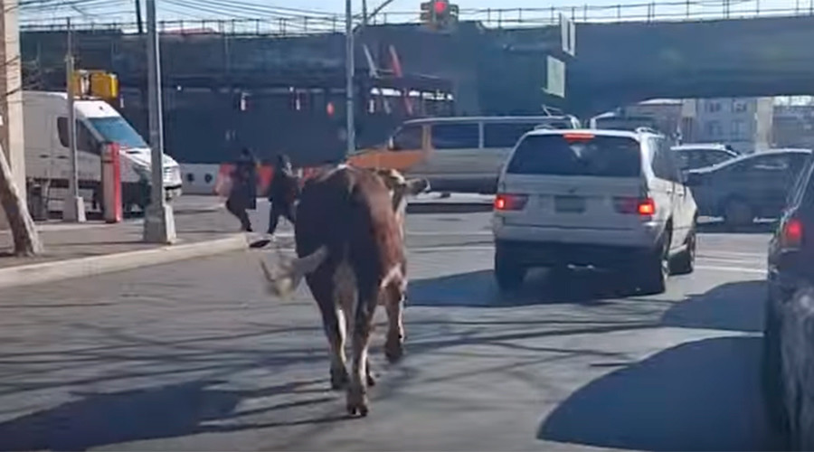 Brave Mooove: Cow escapes from slaughterhouse in Queens (VIDEO)