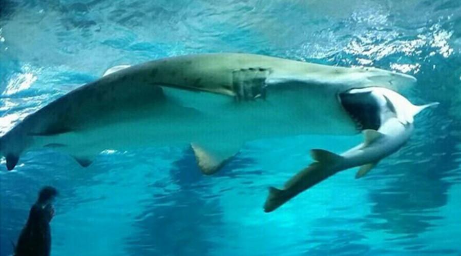 Surf n' Turf war: Female shark eats male in aquarium attack (VIDEO)