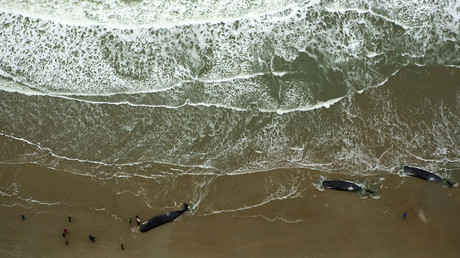 Dead sperm whales are seen on a beach on Texel Island, The Netherlands, January 13, 2016. © Cris Toala Olivares