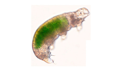 Acutuncus antarcticus, an individual representing the SB-3 strain, showing Chlorella sp. inside its stomach © sciencedirect.com