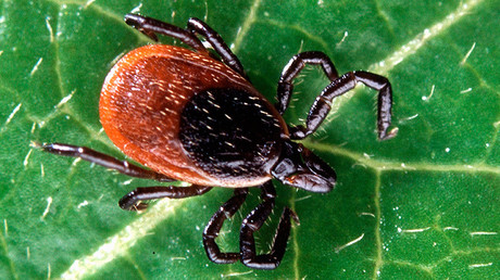 Adult deer tick © wikipedia.org