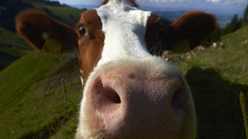 A new moo-vement: How clever cows are taking over the internet