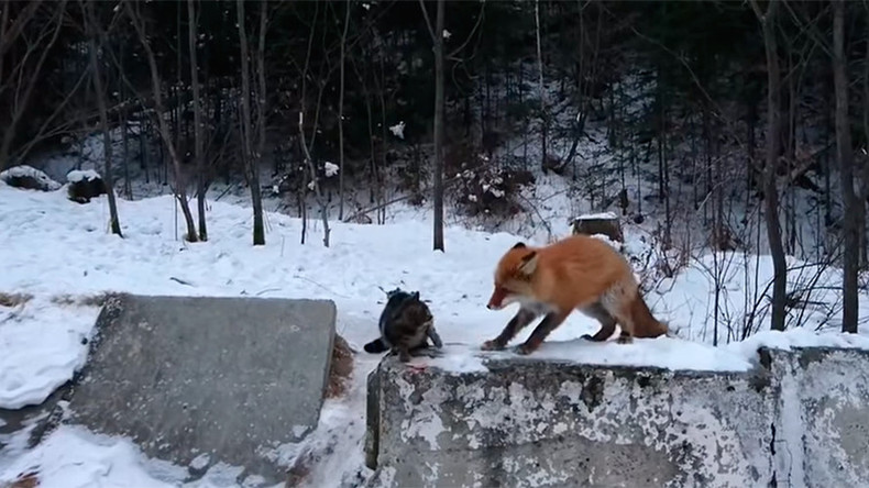 Clever fox teaches cat who's the boss (VIDEO)