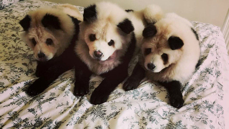 Panda dog: Singapore dyeing service called 'cute' and 'cruel'