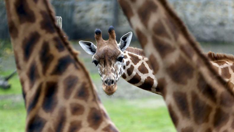 Smokin' bones: Photo of giraffe 'getting high' creates joy, then confusion