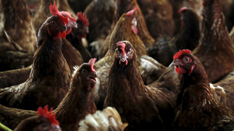 UK poultry farmers STILL using antibiotics linked to rise of drug-resistant bacteria