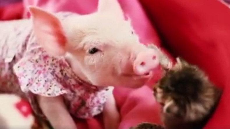 Too cute to handle: Kitten and piglet BFFs