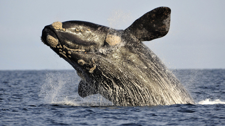 Free Willy: Porn site launches fundraiser to save whales