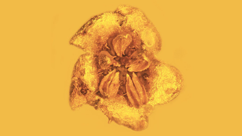 15-million-year fossilized flowers discovered preserved in amber (PHOTOS)