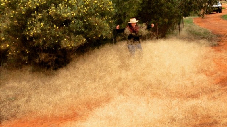 Hairy panic strikes Australian town: What is this toxic tumbleweed?
