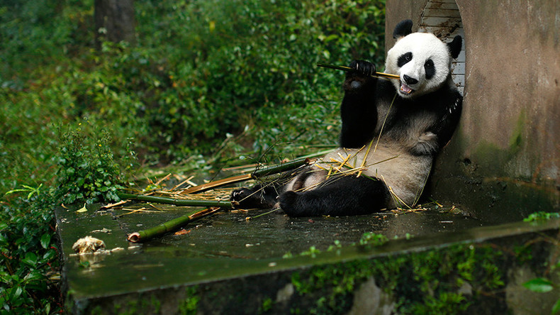 Wanted: Human pandas for zoo who don't mind sitting around all day