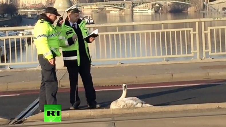Swan-believable: Belligerent bird brings traffic chaos to Prague (VIDEO)