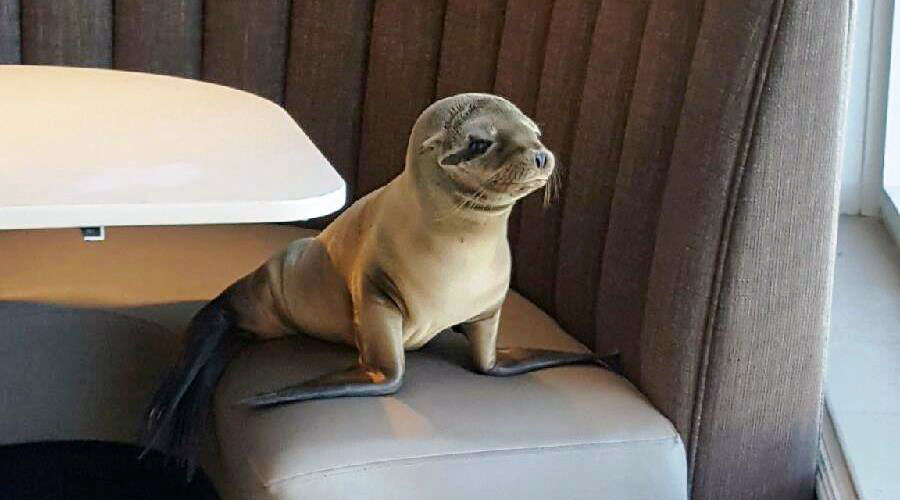 Table for one: Sea Lion takes booth at California restaurant (PHOTOS)