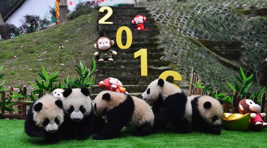 Pandas and groundhogs agree: Spring has sprung!