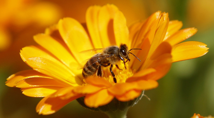 Bee bandits: Hive theft in California spikes before almond season