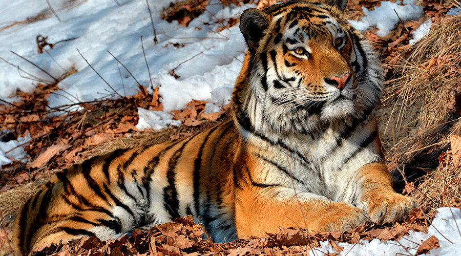Fugitive Amur tiger caught roaming near residential district in Russian city (VIDEO)