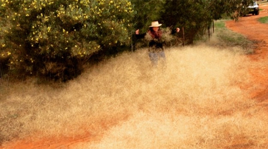 Hairy panic strikes Australian town: What is this toxic tumbleweed?