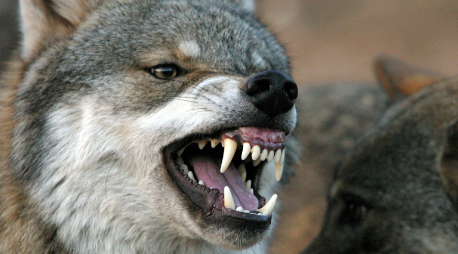 The Revenant Russian style: Man strangles attacking rabid wolf with bare hands