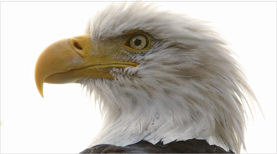 Bad omen: 13 dead bald eagles found at Maryland farm