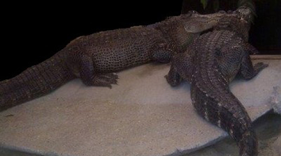 Giant 'watchcrocs' found guarding drug dealers' stash in Amsterdam