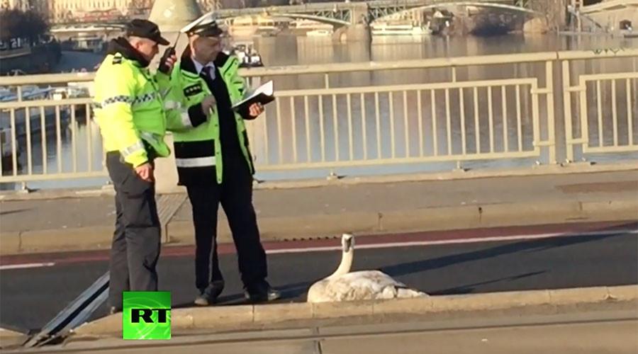 Swan-believable: Belligerent bird brings traffic chaos to Prague (VIDEO)