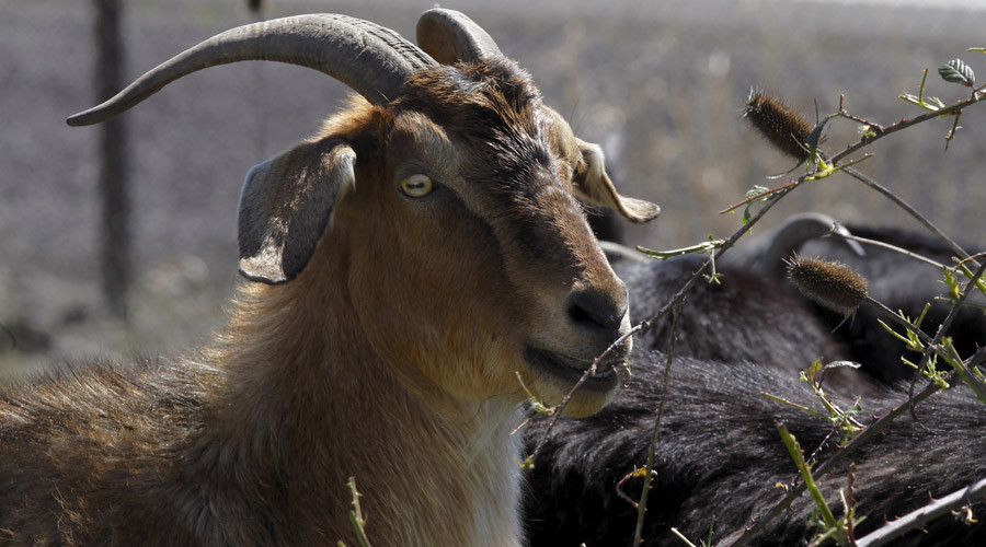 No kidding: Oregon fires $20,000 goats who had one job – and failed