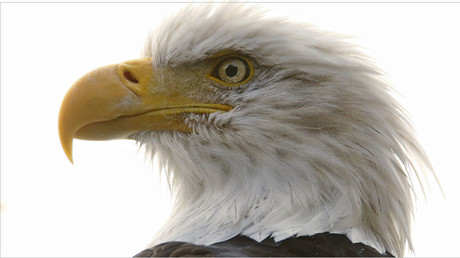 Bad omen: 13 dead bald eagles found at Maryland farm
