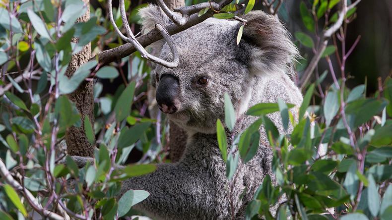 Tastes like eucalyptus: Mountain lion suspected of snacking on koala at LA Zoo
