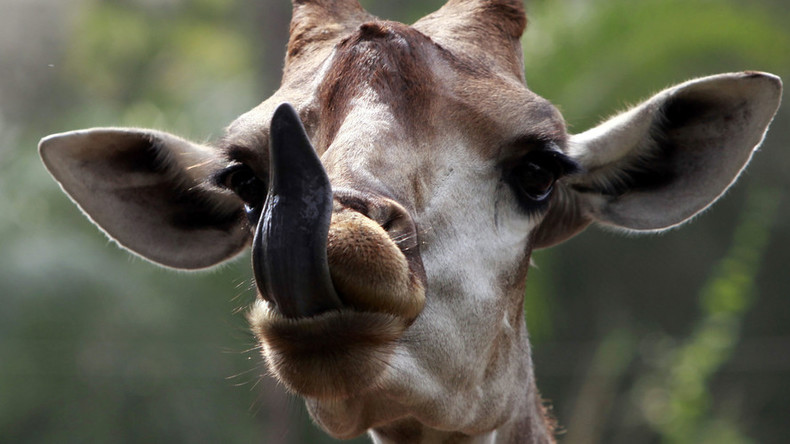 Idiot giraffe traps head in fake tree at Japanese zoo (VIDEO)